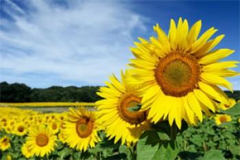 Sonnenblumenkerne geschält